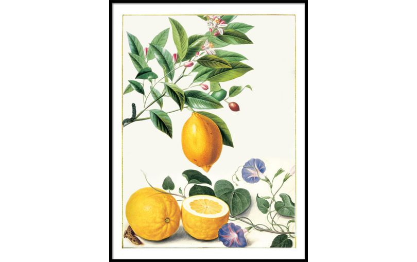 Ilustracja Cytryny - Kolekcja Werandy